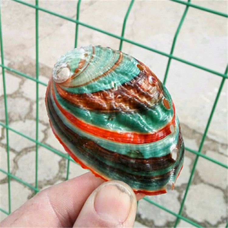 Natural Conch Shell Colorful Abalone Shell Fish Tank Aquarium Landscaping Wall Decoration 6-7 Cm Mediterranean Ornaments Crafts