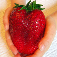 1000pcs Germany super big strawberry seeds,fruit seeds, garden supplies,bonsai seeds gaint strawberry plant pot for home garden(China)