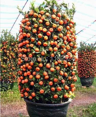 50pcs Mini Potted Edible Fruit Seeds Bonsai Climbing Orange Tree Seeds