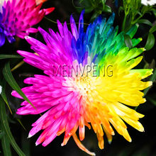 Sale!Rainbow Chrysanthemum Flower bonsai, Ornamental Bonsai, Rare Color ,New Choose More Chrysanthemum plants Garden,200flores(China)