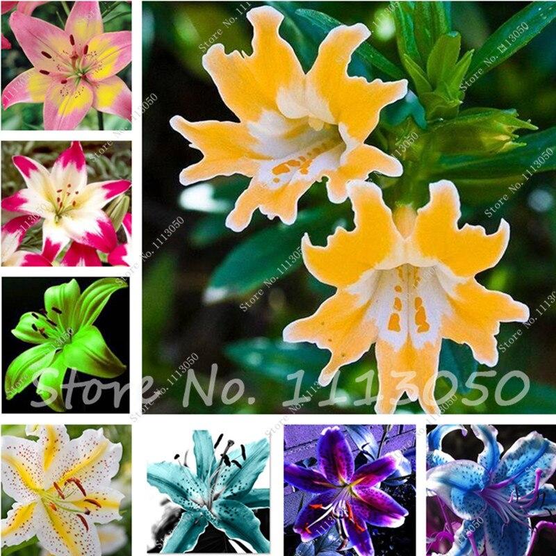 unids colores lily semillas perfume barato lirios semillas rare color jardn de