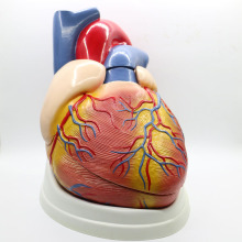 5 раз большой ПВХ сердечная Анатомия сердца модель медицинский обучающий инструмент учебный инструмент клиника фигурки