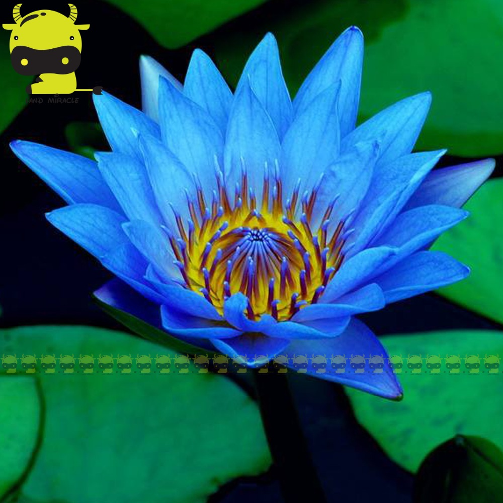 Egypt Blue Water Lily Seed 1 Seedspack Pond Aquatic Plants Small