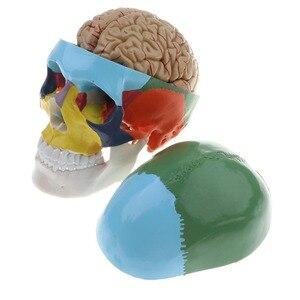 Image 3 - 1:1 crânio esqueleto humano colorido com cérebro adulto cabeça modelo com anatomia da haste do cérebro ferramenta de ensino médico fornecimento