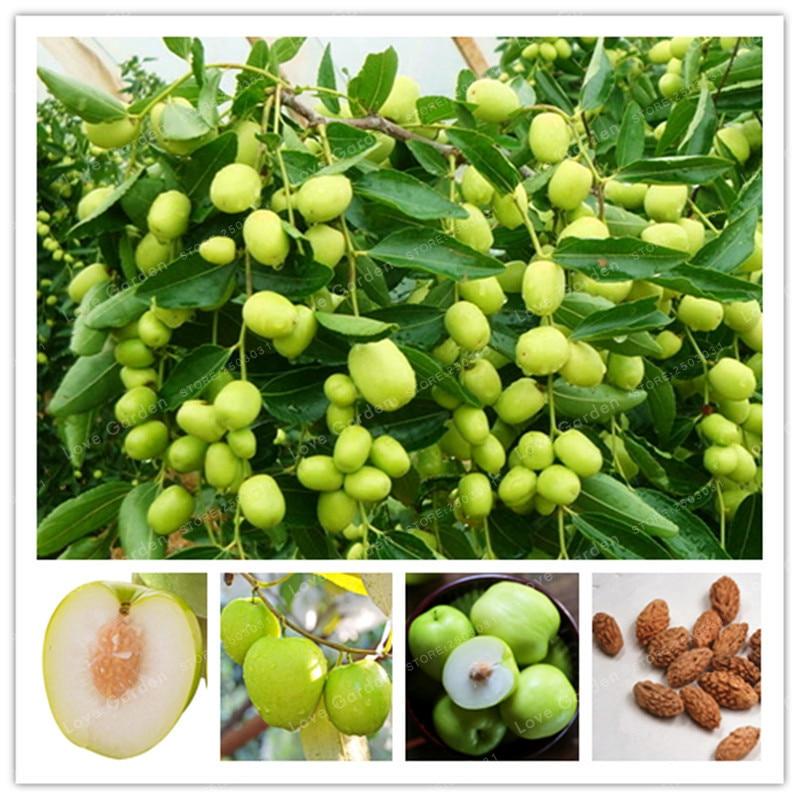 US $0 44 49% OFF|Hot Selling Jujube Bonsai Chinese Taiwan Big Jujube Bonsai  Fruit Tree Bonsai Rare Tropical Fruit Bonsai 10 Pcs DIY Home Garden-in