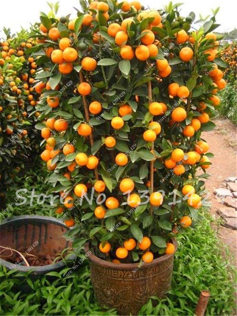 40Pcs / Bag Hot Sale Kumquat Seeds Bonsai Orange Tree Seeds Organic Fruit Tree Tasty Juicy Seeds flower pot planters