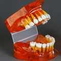2016 Dentural Development Model Dental Tooth Teeth Anatomical Anatomy Model Odontologia 5-9 Years Old Children Dental Model