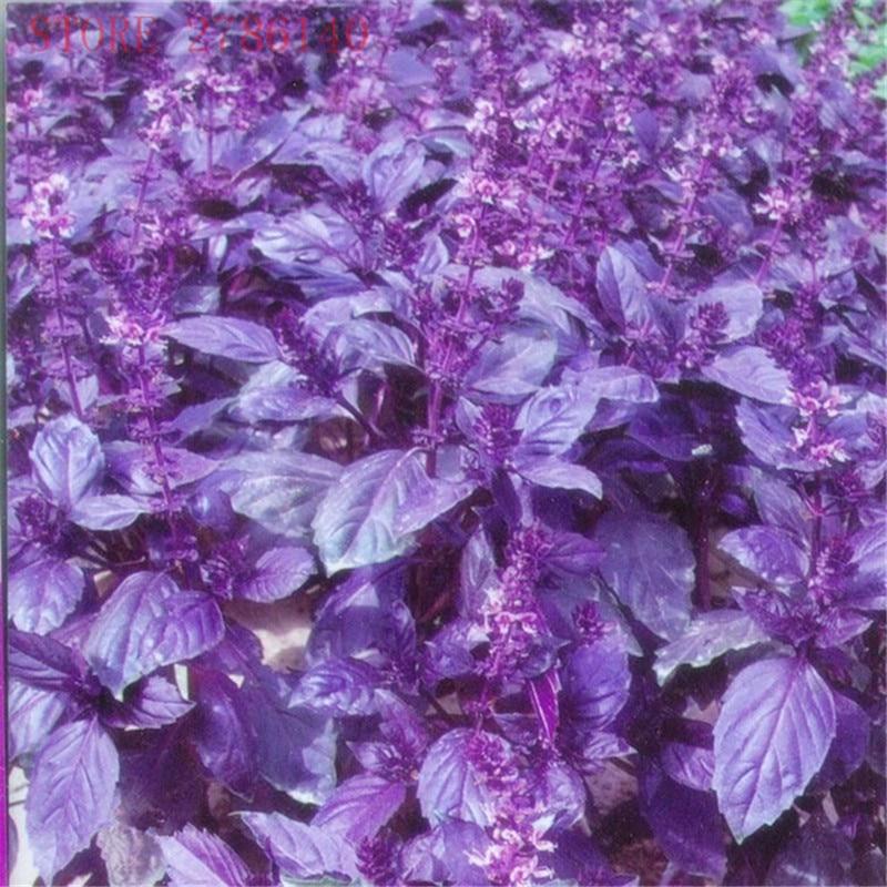200 pcs Purple Basil Seeds Sweet Ocimum Basilicum Seeds Ocimum basilicum.spice And Medicinal Herb Organic home garden planting