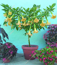 20 seeds/pack Poeetd plant Brugmansia flower Angel Trumpet fragrant Datura tree seeds garden decoration plant  (Mixed color)