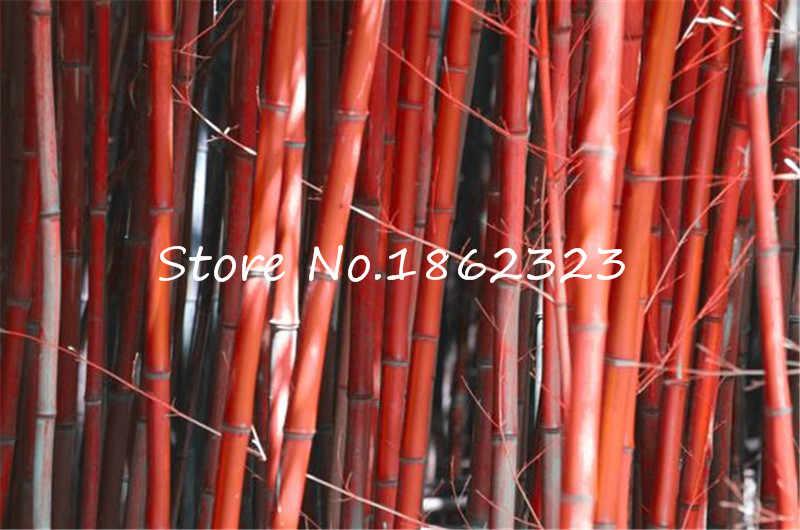 เวลาจำกัด!! หายากสีเหลือง Timor Bambusa สีดำไม้ไผ่พืช bonsais easy grow courtyard 50 PCS - แพคเกจอินทรีย์ bonsai home