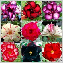 10 pcs- 100% Genuine  Fresh Rare Adenium Obesum (Mixed) * Free Shipping