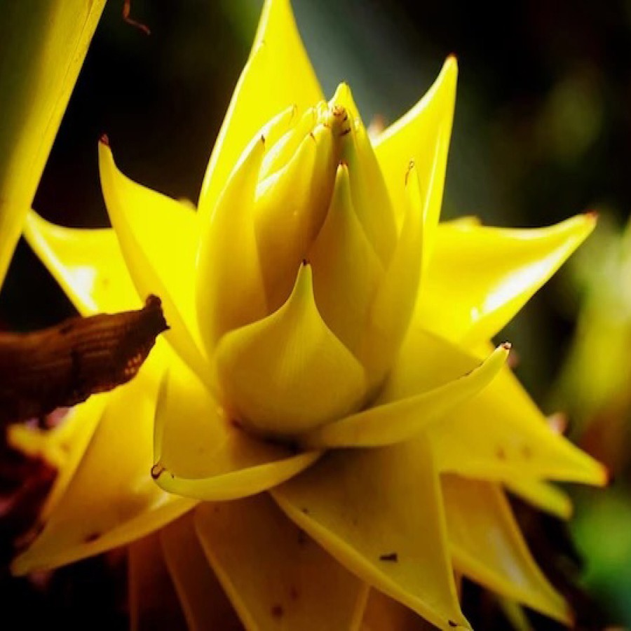 A Symbol Of Wealth Such As Pure Yellow Lotus Flowers Like Lotus