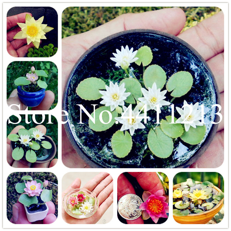 5 Pcs Mini Lotus New Water Hyacinth Pond Bonsai Best Germinate Lotus Plant Flower Indoor Fissidens Flowers Pots Bonsai