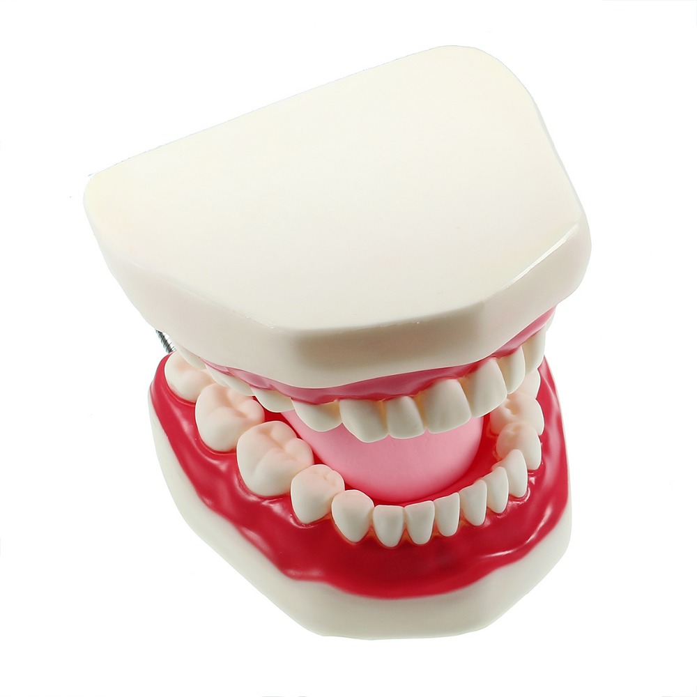 Large Dental Adult Teeth Model 6 Times Full Mouth Tongue Model With Brush For Kindergarten Child Teaching Study Tooth Brushing teeth model tooth models mouth oral care brushing teaching study model adult standard multifunction dental care gasen den002