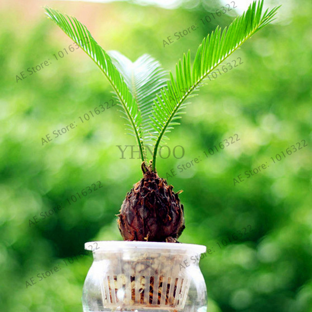 10pcs/bag potted cycas seeds, foliage plants purify air cycads tree,home and garden Ornamental tree