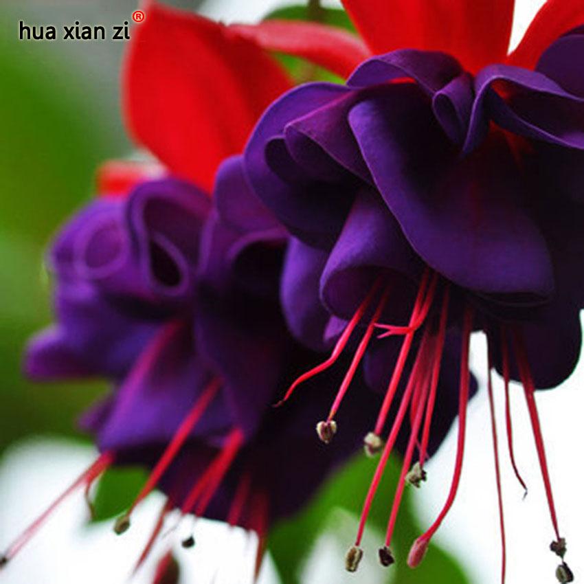 Цветов, где купить фуксию цветы