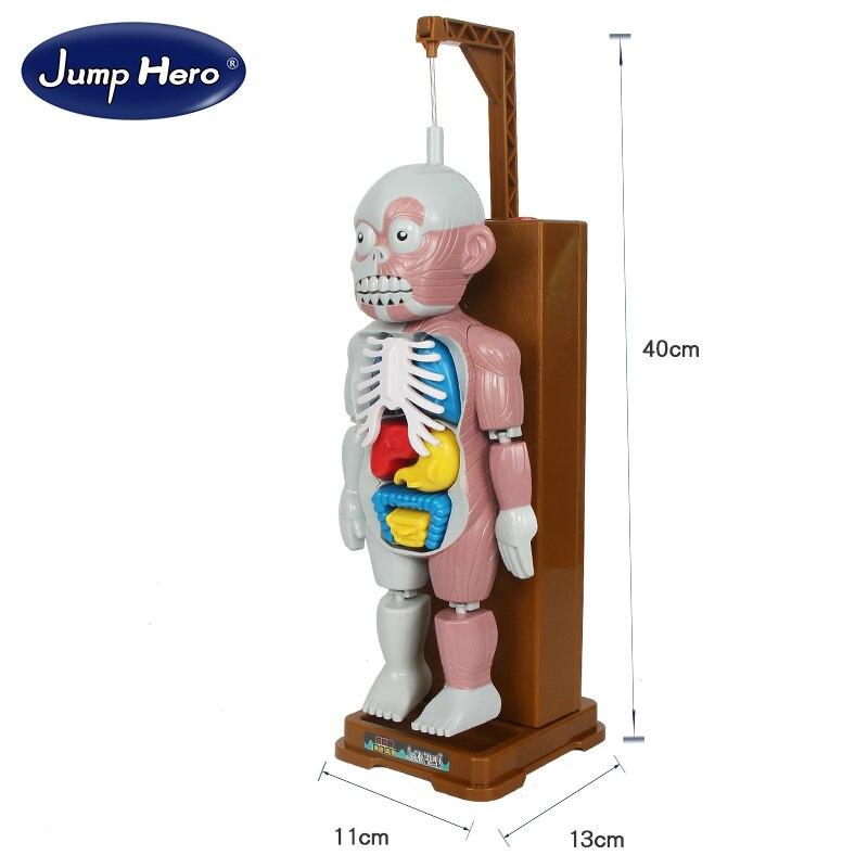Lustiger Roman Menschlichen Körper Orgel Viszeralen Modell ...