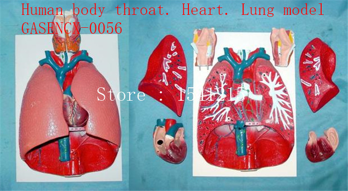 Human body throat. Heart. Lung model - GASENCX-0056 multicolors colors w45 w90 w70 w80 w90