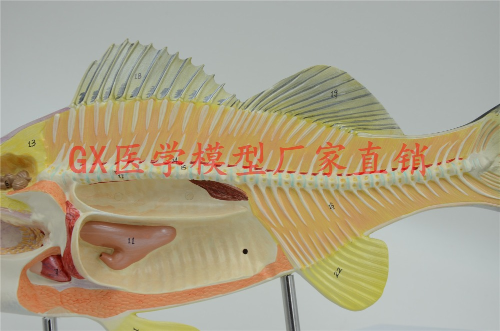 Aliexpress.com : Buy Free shipping&Fish model, anatomy, biology ...