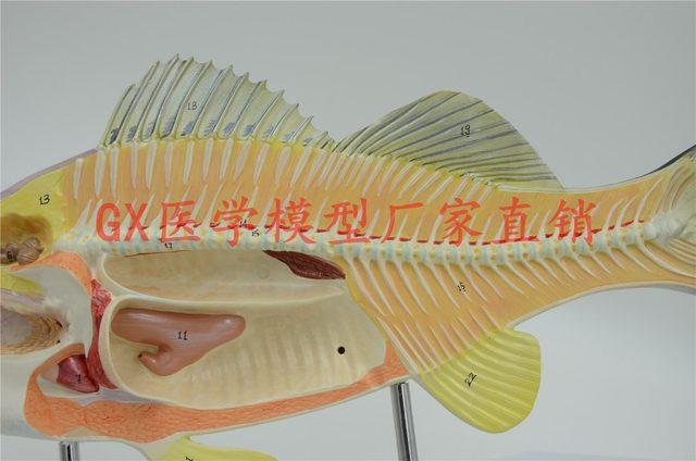 Online Shop Free Shippingfish Model Anatomy Biology Teaching