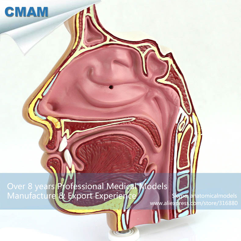 12509 CMAM-THROAT04-1 Anatomical Human Sinus Nasal ENT Nose Model,  Medical Science Educational Teaching Anatomical Models 12400 cmam brain03 human half head cranial and autonomic nerves anatomy medical science educational teaching anatomical models