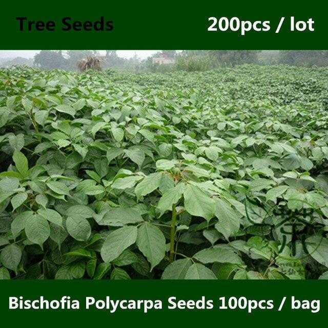 Deciduous Tree Bischofia Polycarpa ^^^^ 200pcs, Ornamental Plant ...