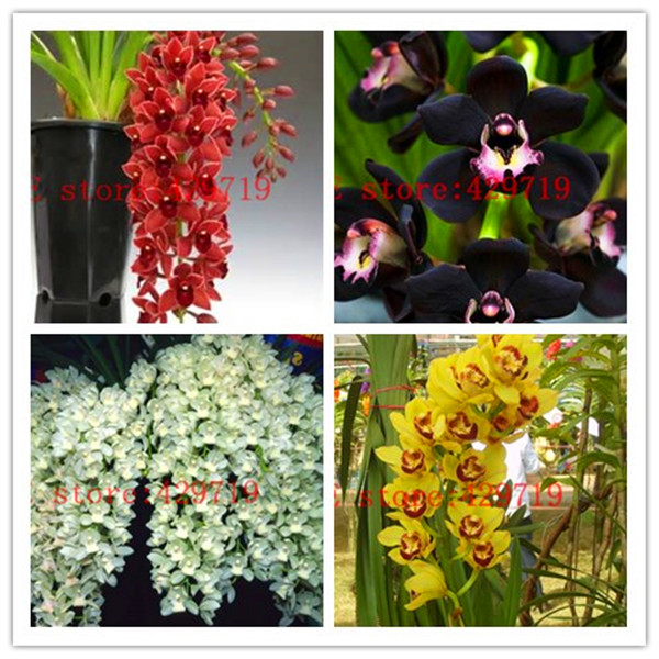 150 Pcs Unique Cymbidium Faberi Flower Seeds Garden Flower