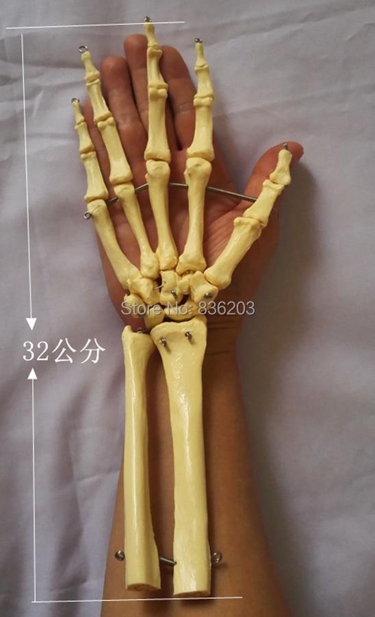 Vida tamaño médico anatomía cerebro esqueleto humano conjunta mano ...