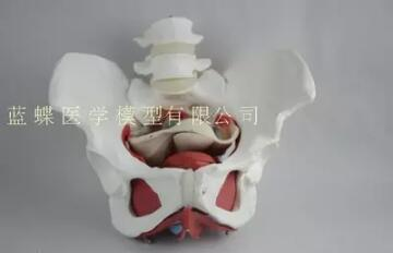 Female pelvic and pelvic floor muscle models can be disassembledFemale pelvic and pelvic floor muscle models can be disassembled
