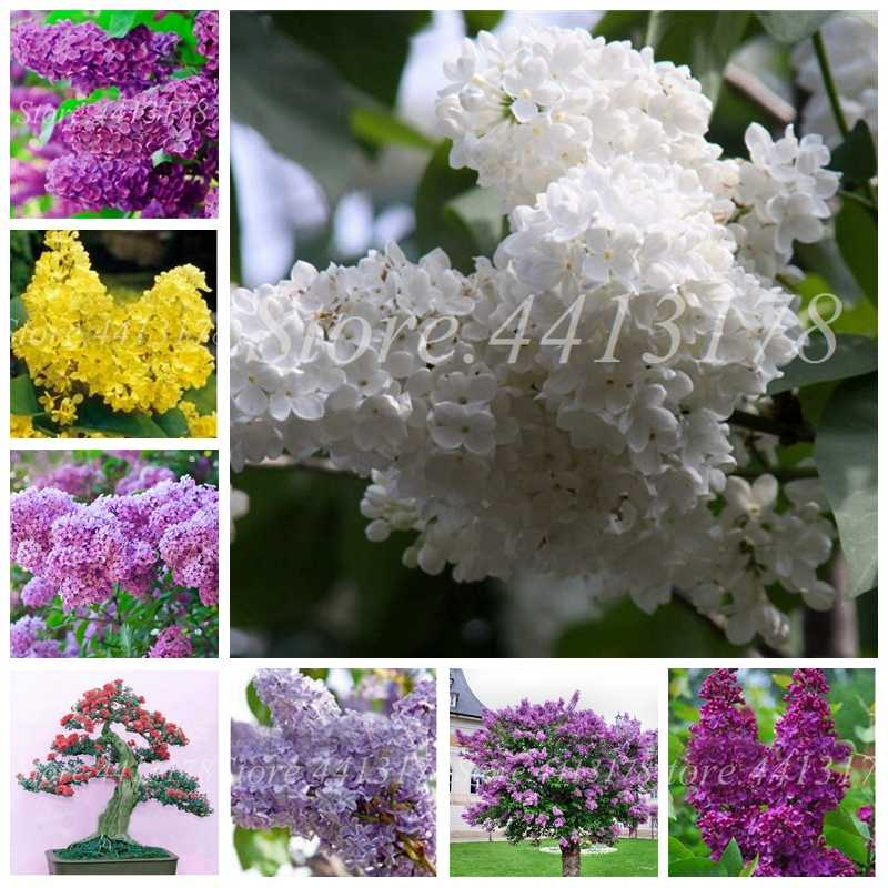 100 Pcs/ Bag Bonsai Lilac Japanese (Extremely Fragrant) Clove Flower Potted Lilac Trees Outdoor Plant for Home Garden Decor