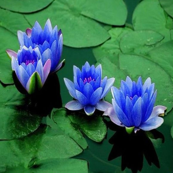 10pc water blue lotus seedhydroponic flowers small water lily seeds 10pc water blue lotus seedhydroponic flowers small water lily seeds mini lotus seeds bonsai mightylinksfo