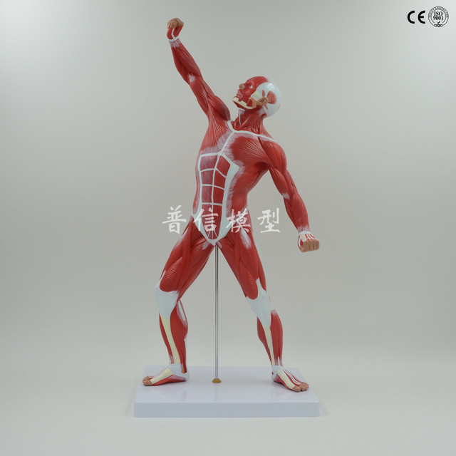 50 cm Menschlichen Muskel Modell Menschlichen Körper Modell ...