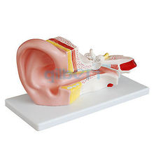 3X Life Size Human Ear Anatomy Medical Model in 2 Part Removable Sections