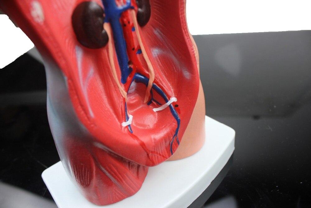 Medizinische lehrmodell 27 CM 12 teil menschliches torso ...