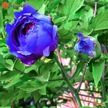 Chinese Peony Seeds,Purple Blue Rare Species Peony Flower Seeds,10 Particles / lot