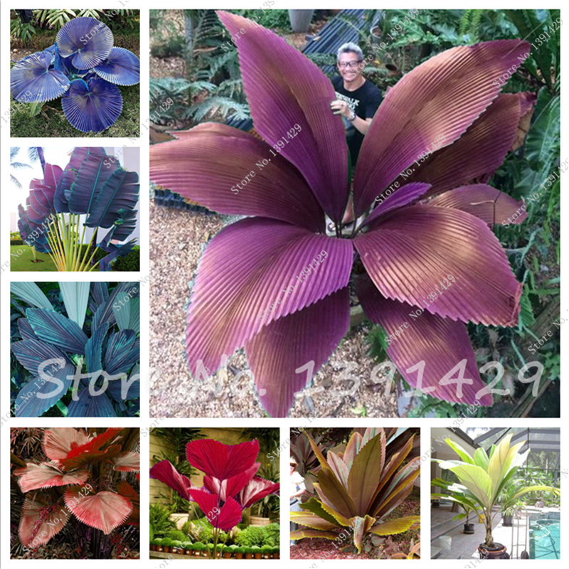 50 pcs/ bag Sago Palm Tree seeds. perennial bonsai flower seeds, Garden Novel Plants Anti-Radiation home garden Ornamental plant