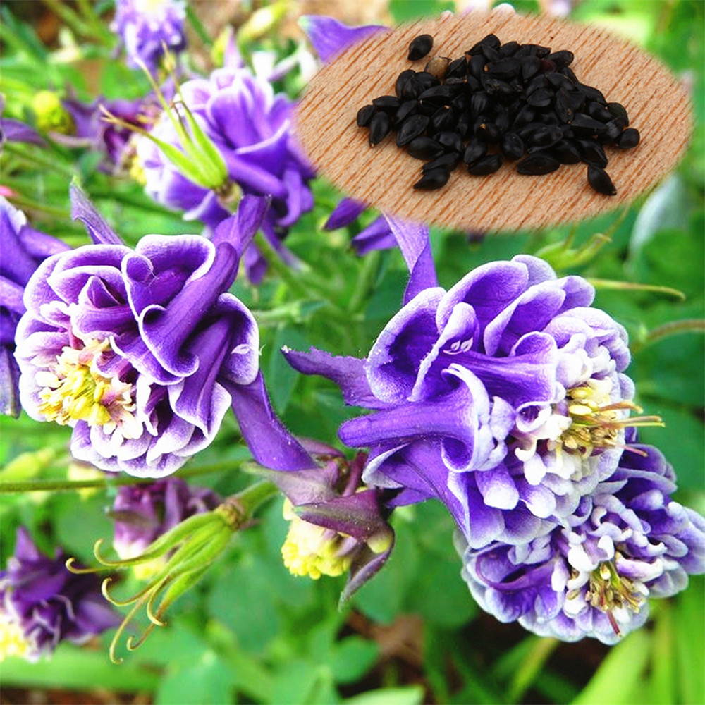 Online buy wholesale columbine from china columbine wholesalers 50pcspack purple white columbine aquilegia vulgaris double flower mix home and gardenhong dhlflorist Gallery