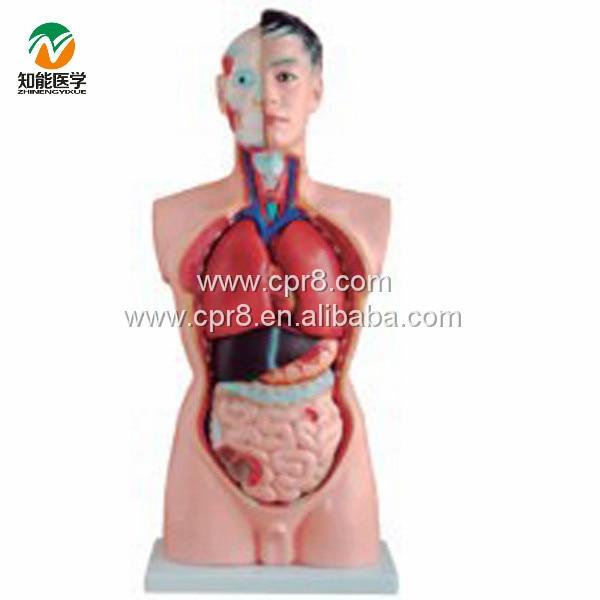 BIX-A1034 85CM Male Torso Model 19 Parts G020 bix a1004 85cm human spinal nerves skeleton model g119
