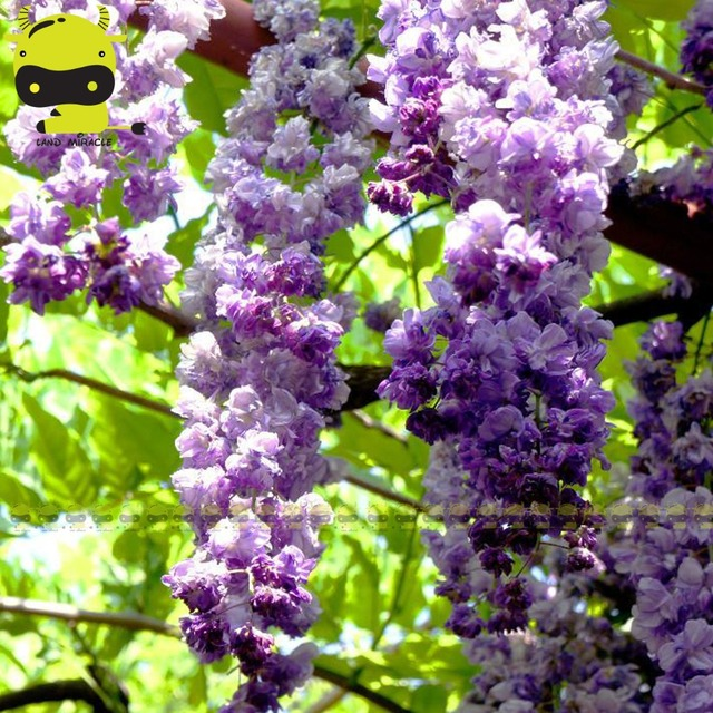 Rare Japanese Purple Wisteria Double Flower Tree Seed, 5 Seeds/Pack ...