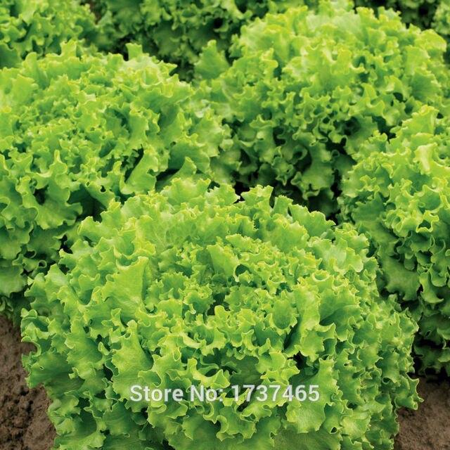500 piezas de lechuga italiana, Lactuca sativa, fácil de cultivar, grandes verduras de ensalada bonsai planta hogar jardín envío gratis