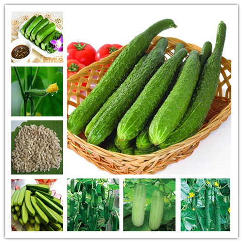 Big Promotion 100 Pcs  Cucumber Bonsai Rare Non-GMO Delicious Cucumber Fruit And Vegetable Plant For Home Garden Planting
