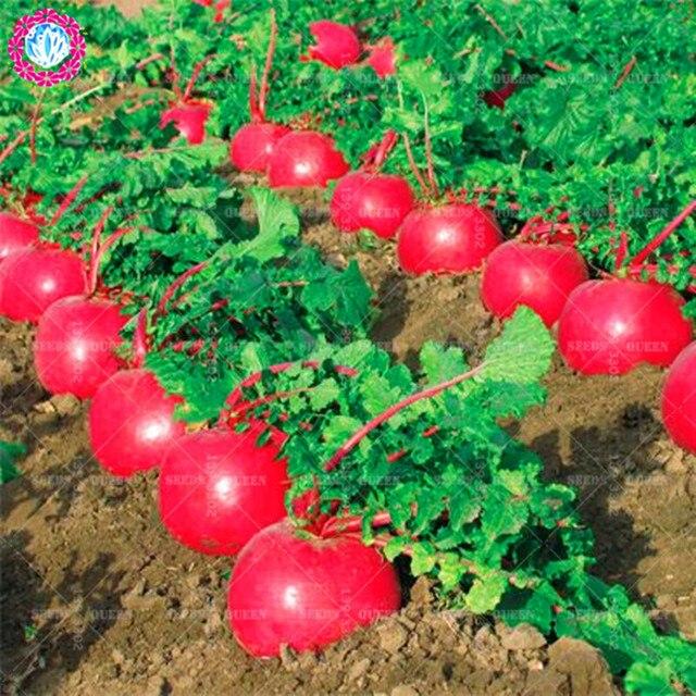 بونساي 200 pcs الأحمر الفجل العضوية بونساي النباتات الصالحة للأكل الجزرة العملاقة غير المعدلة وراثيا الخضروات زراعة بوعاء للمنزل لوازم حديقة