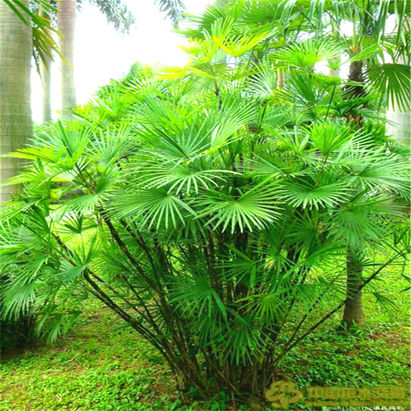 50 pcsbag sago palm tree seeds cycas funny bonsai tree the budding rate 97 - Trees For Home Garden