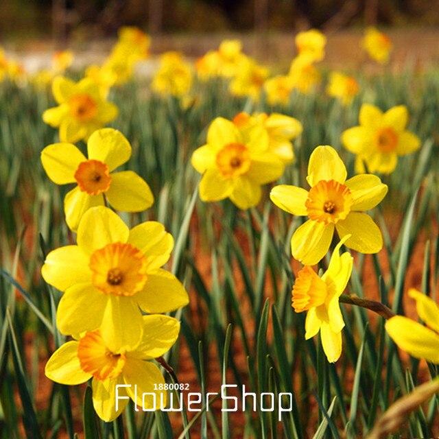 Venta Amarillo Narcisos Plantas Con Flores Narciso Semillas - Narcisos-amarillos