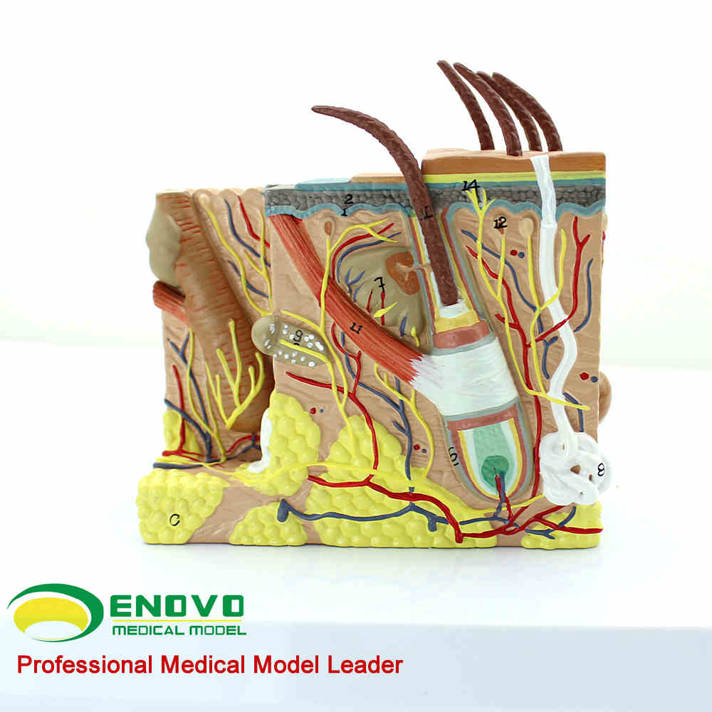 Human skin tissue anatomical magnification model minimally invasive skin cosmetic plastic face model skin block model 26 points displayed human skin anatomical model skin model