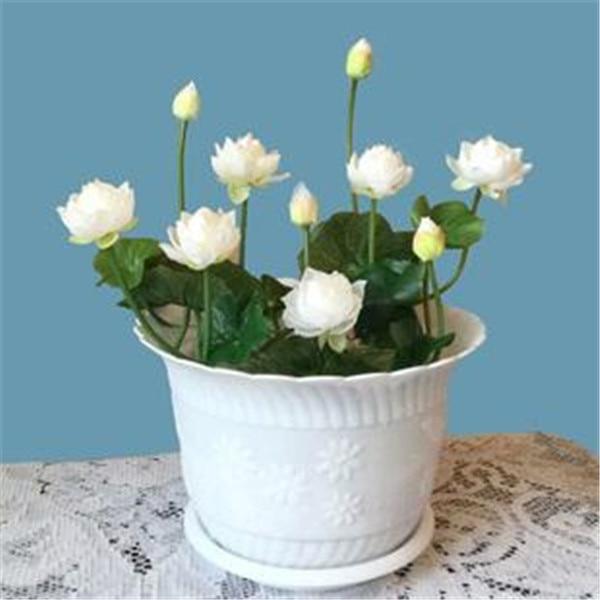 5 шт./пакет чаша Лотос, кувшинка Редкие водные цветок многолетний завод карликовые деревья для дома и сада Бесплатная доставка/Лотос бонсай