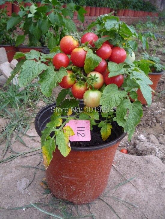 Excepcional Plantar Tomate Cherry. Consejos Para Cultivar Tomates Cherry  EE74