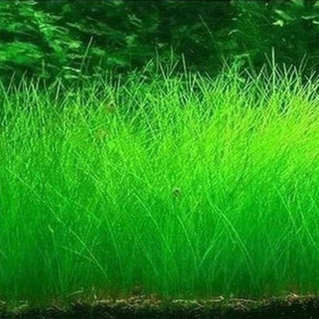 10g/bag Aquarium Grass Seeds Fish Tank Indoor Aquatic Water Plants Decor Rock Lawn Garden Foreground Planting Landscape Ornament 1