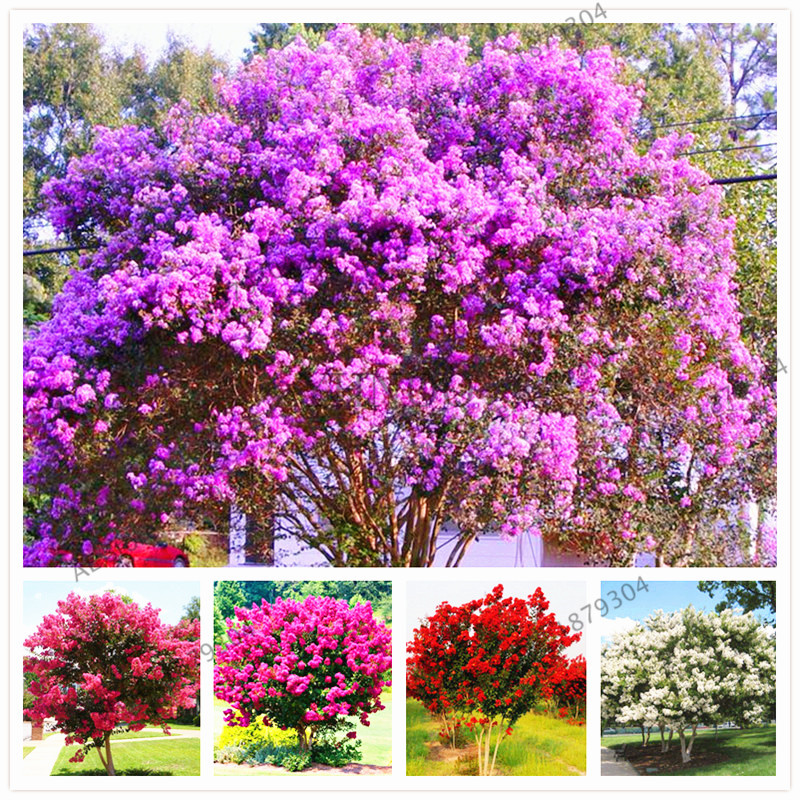 Garden Plant 106pcs Perennials Fast Growing Flower Plantas, Crape Myrtle Bonsai Flower Pcs / Tree Flores Bonsai Planten