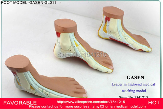 Flat And Arched Foot Foot Anatomy Model Imitation Foot Skeleton